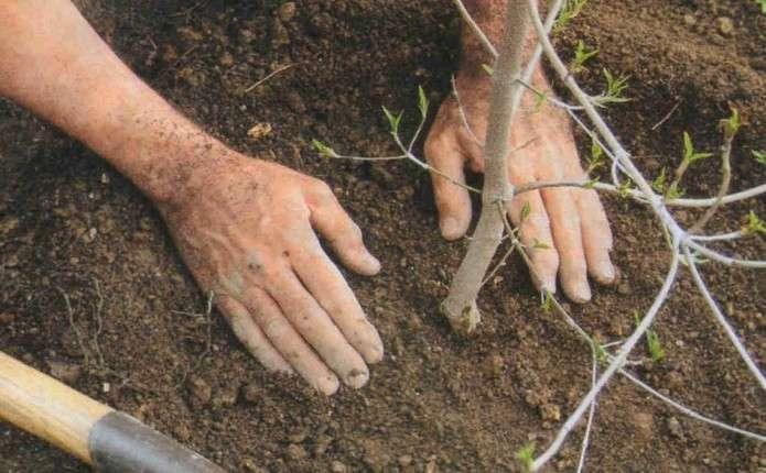Что садить под грушей