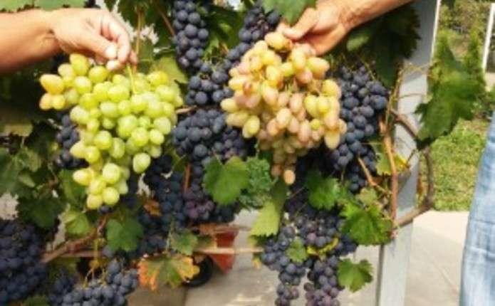 Виноград на Буковині родить, а збути його немає де