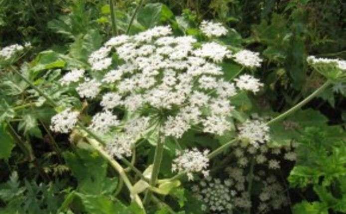 У Чернівцях створять карти поширення небезпечної рослини