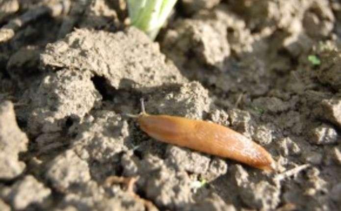 Що робити, щоб слимаки не з'їли урожай