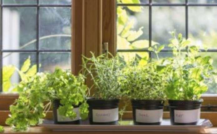 Ароматні спеції вирощуємо на кухні