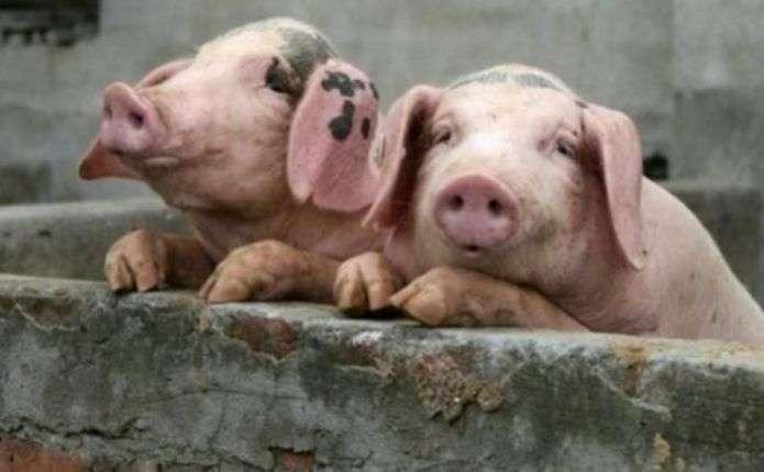 Заражена свинина може потрапити на буковинські ринки