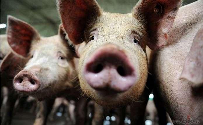 Два випадки африканської чуми свиней зафіксували у Чернівецькій області