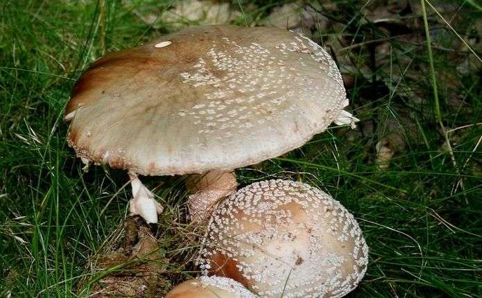 Ще троє людей у Чернівецькій області отруїлися грибами