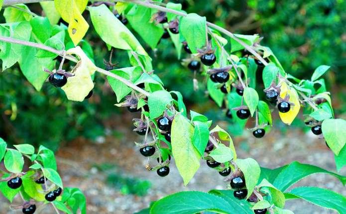 Отруйні рослини та ягоди обминайте