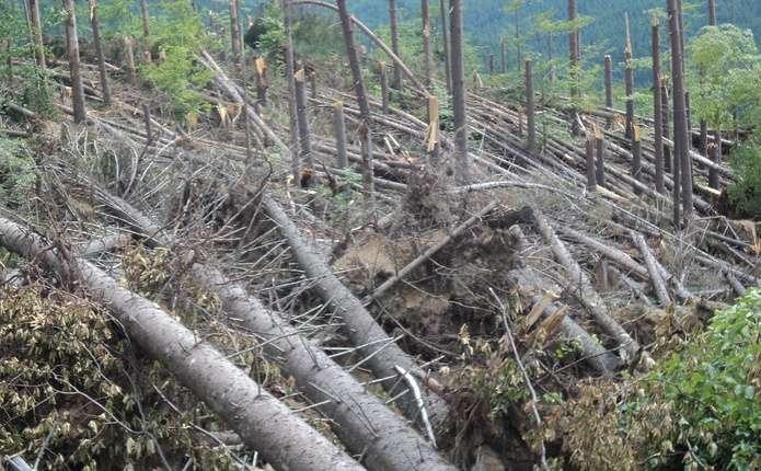 Сильний вітер на Сторожинеччині повалив ліс на площі 15 га