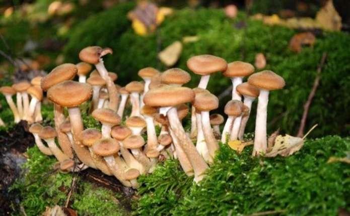 У 2016 році на Буковині зареєстровано 7 випадків отруєння грибами