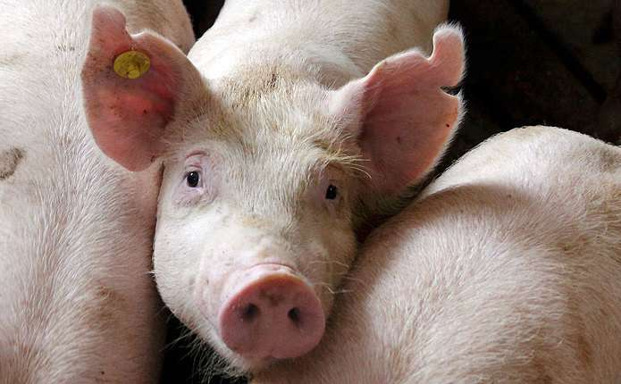 На Дніпропетровщину частково заборонили ввезення свинини з Чернівецької області