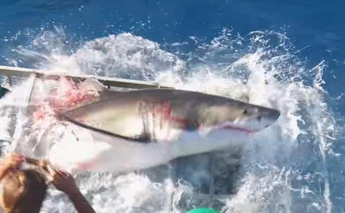 Велика біла акула зламала прути і потрапила в підводну клітку до дайвера
