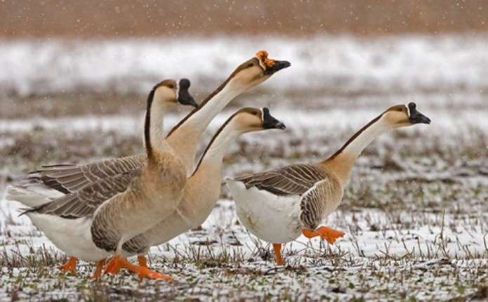 Взимку домашня птиця потребує особливого догляду