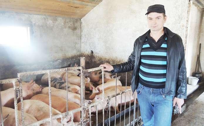 На що потрібно звертати увагу при купівлі свиней