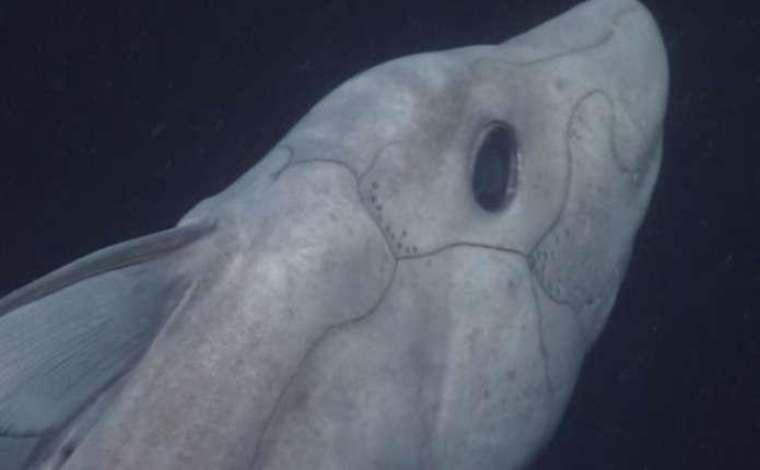 Рідкісну акулу-примару зняли на відео
