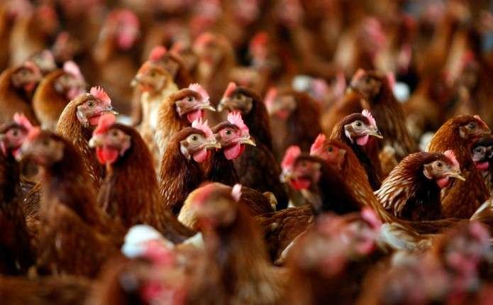 ЄС та низка країн Азії призупинили імпорт птиці з України