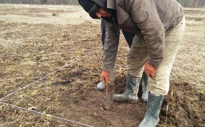 У Сторожинецькому лісгоспі створюють клонову плантацію модрини
