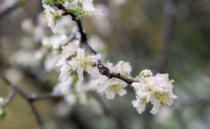 Як вберегти рослини від весняних заморозків