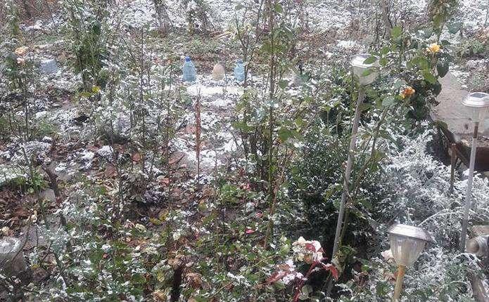 У Чернівцях перший сніг випав на осінні квіти - Погляд – новини Чернівці 4d608bd8cb2f7