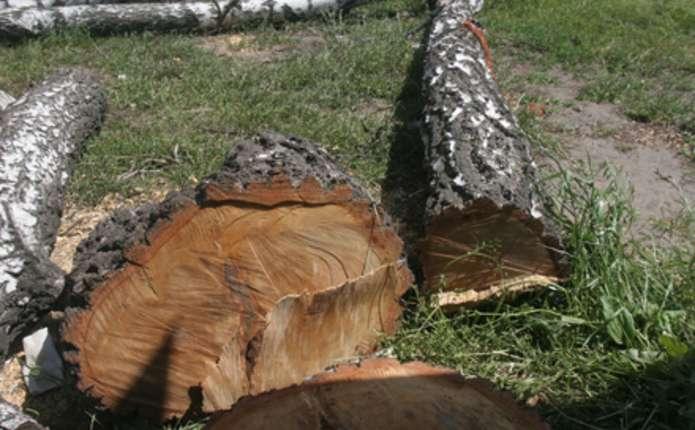 Чернівчани хочуть зобов'язати Зелентрест висаджувати молоді дерева замість зрубаних