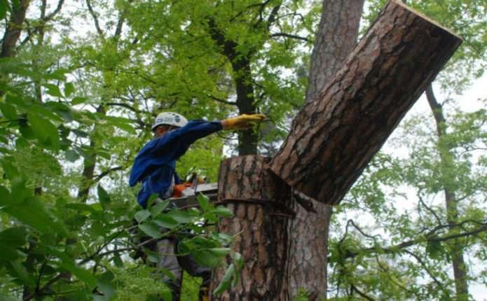 18 лютого у Чернівцях знесуть аварійні, сухостійні дерева
