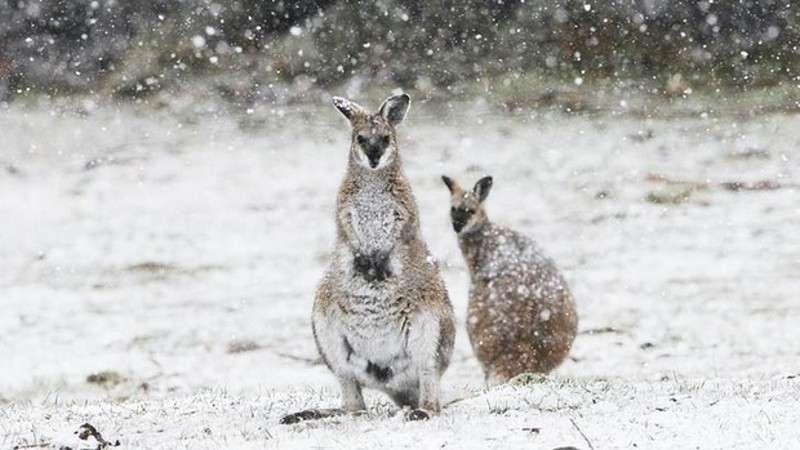 В Австралії випав сніг. Кенгуру в шоці